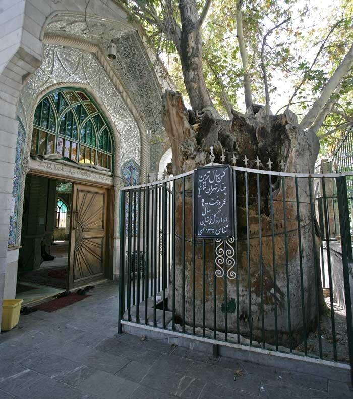 چنار امامزاده یحیی