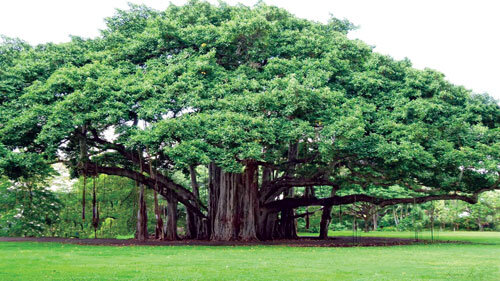 از درخت دوقلو تا درخت سر به فلك كشيده