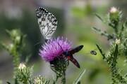 هجوم میلیونها پروانه به شهرستانهای جنوب شرق تهران