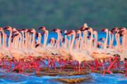 شمار فلامینگوهای دریاچه ارومیه به ۴۵ هزار بال افزایش مییابد
