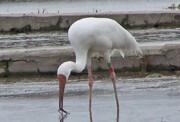 یک قدم تا انقراض چهار گونه پرنده در کشور
