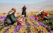 زعفران ایران با نام افغانستان، اسپانیا و ایتالیا فروش میرود