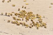 هجوم ملخ صحرایی تا ۱۰ روز دیگر