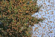 چرایی افزایش حشرات در استان تهران؛ از پروانهها تا ملخها