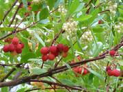 توقف تکثیر سلولهای سرطان روده با شهد گل یک درخت مدیترانهای