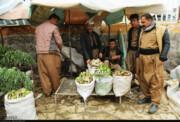 ظرفیت کردستان برای کشت گیاهان دارویی