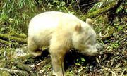 کشف نخستین پاندای سفید دنیا در جنگلهای چین
