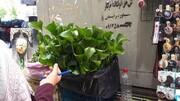 فروش یک گیاه سرطانزا در تهران | تصویر آن را ببینید