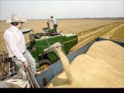 خرید و برداشت گندم در جنوب کرمان ادامه دارد