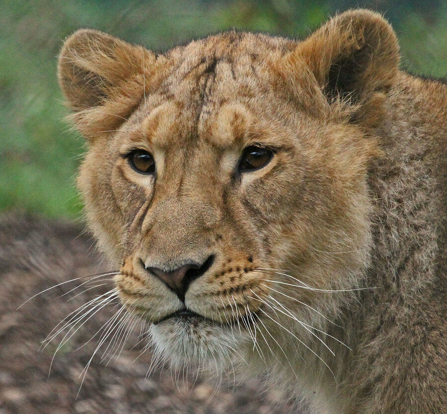 Asian lioness