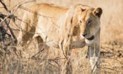 فرار ۱۴ شیر از پارک ملی کروگر در آفریقای جنوبی