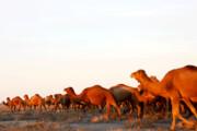 فرصتهای اقتصادی پرورش شتر در گلستان