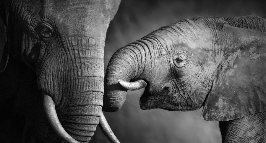 مراسم دفن بچه فیل+ویدئو