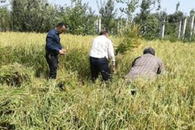 افزایش تنشها بر سر محدودیت کشت در خوزستان