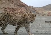 بوشهر مرکز آموزش برنامههای حفاظت از پلنگ زاگرسی شد