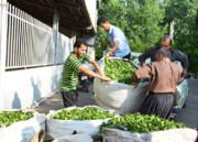 خرید ۱۳۵ هزار تن برگ سبز از چایکاران
