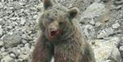 سنگاندازان به خرس قهوهای در انتظار حکم دادگاه