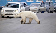 مهمان ناخوانده پس از ۴۰ سال |خرس قطبی سیبری وارد شهر شد