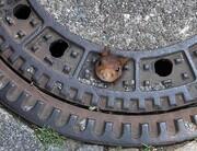 عکس روز:  سنجاب گیرکرده در سوراخ فاضلاب