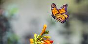 پروانههای زیبا و بیآزار در آسمان همدان