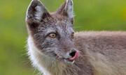 روباهی که از اروپا به کانادا رفت | ۳۵۰۰ کیلومتر سفر در ۷۶ روز