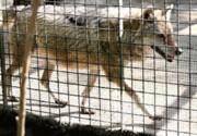 گرگهای معدوم شده در باغ وحش تهران ژن خوب نبودند