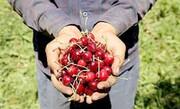 گیلاس ۱۴۸ هزار تومان! | قیمت عجیب و غریب میوههای نوبرانه