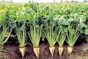 کاهش ۵۰ درصدی مصرف آب در کاشت چغندر