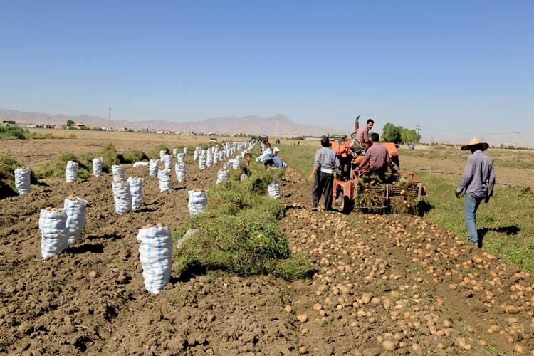 صادرات، متهم اصلی گرانی سیبزمینی