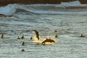 عکس روز: دلفینها و موجسواران