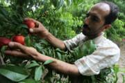 مگس مدیترانهای در کمین باغهای میوه مازندران
