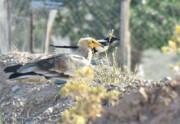 نخستین حضور یک پرنده کمیاب در معرض انقراض در خلیلآباد ثبت شد