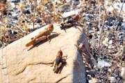 روزهای پایانی مبارزه با ملخ صحرایی در سیستان و بلوچستان