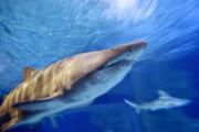 هشدارِ ناپدید شدن کوسهها در دریای مدیترانه