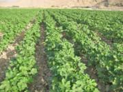 افزایش ۹هزار هکتاری اراضی کشت پنبه در گلستان