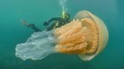 مشاهده عروس دریایی غولپیکر در آبهای ساحلی انگلیس