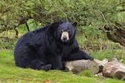 آشنایی با خرس سیاه