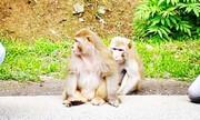 فرار ۳ میمون به جنگلهای سیاهکل