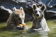 عکس روز: خرسها میوه یخی میخورند