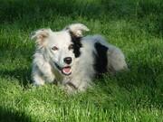 باهوشترین سگ جهان درگذشت