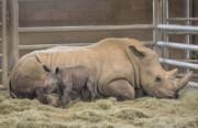 امید به نجات کرگدنهای سفید با تولد کرگدنی از طریق لقاح مصنوعی