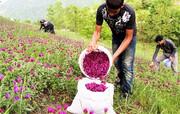 گیاهان بومی ایلام در خطر تاراج