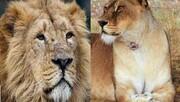 آغاز زندگی مشترک؛ کامران و ایلدا شیرهای باغ وحش ارم همخانه میشوند