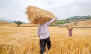 کاهش فروش گندم به دولت