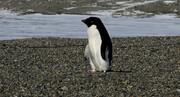پنگوئن غول پیکر در نیوزیلند