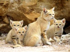 گربههای شنی در کویر سیستان و بلوچستان
