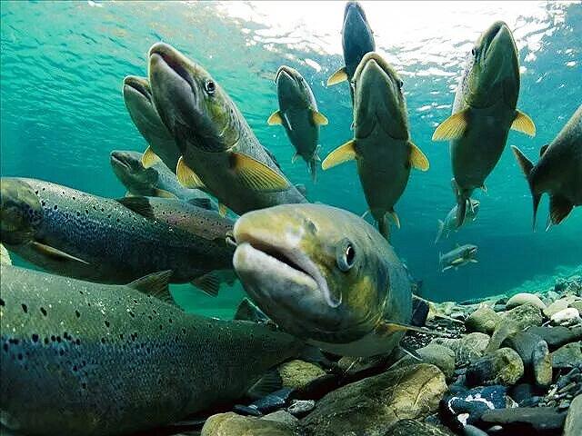 آلاسكا گرما مرگ ماهيها