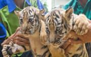 احضار چند مسئول در پی تلف شدن هفت قلاده تولهببر در باغ وحش مشهد