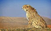 زیستگاه جدید یوزپلنگ آسیایی در سمنان شناسایی شد