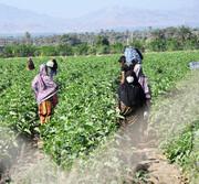 آخرین نفسهای کشاورزی در رودان